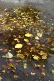 Foliage in a Puddle