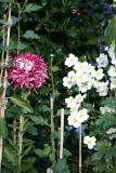 Chrysanthemum and Japanese Anenome