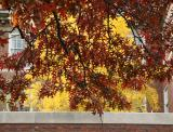 Oak & Ginkgo Foliage at NYU Law School