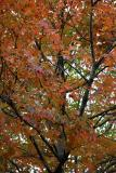 Maple at Washington Square Northeast