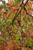 Osage Orange & Maple