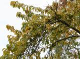 Osage Orange Foliage & Fruit