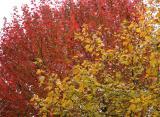 Maple Tree Folage