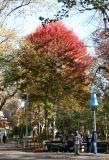 Maples at Chess Corner