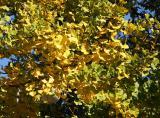 Ginkgo Foliage