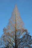 Dawn Redwood Tree at Liz Christie's Community Garden