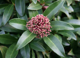 Skimmia - NYU Law School Garden