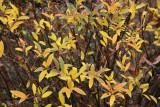 Spirea Foliage