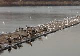 Reservoir Jetty - Canadian Geese, Ducks & Seagulls