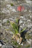 Cyrtanthus carneus, Amaryllidaceae