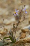 Cyanella hyacinthoides, Tecophilaceae