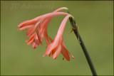 Cyrtanthus fergusoniae, Amaryllidaceae