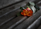 The abandoned rose