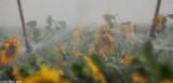 IMG_8801.jpg  Sunflower