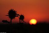 IMG_9061.jpg  Sunflower