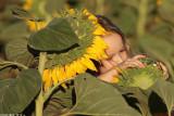 IMG_9124.jpg   Sunflower