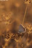 IMG_9813.jpg     cahlil matzoy÷Polyommatus icarus