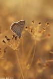 IMG_9847.jpg     cahlil matzoy÷Polyommatus icarus