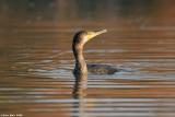 ÷åøîåøï âãåì - Great Cormorant - Phalacrocorax carbo9074.jpg