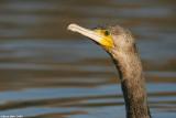 ÷åøîåøï âãåì - Great Cormorant - Phalacrocorax carbo9094.jpg