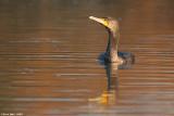 ÷åøîåøï âãåì - Great Cormorant - Phalacrocorax carbo_9082.jpg