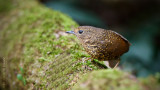 小鱗胸鷦鶥 Pygmy Wren Babbler  HYIP2255_s.jpg