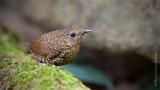 小鱗胸鷦鶥 Pygmy Wren Babbler HYIP2212_s.jpg