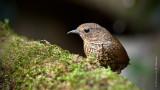 小鱗胸鷦鶥 Pygmy Wren Babbler HYIP2234_s.jpg