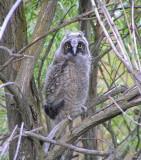 Long eared Owlet