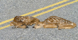 Fawn along road