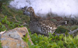 Sooty grouse (adult female)