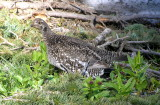 Sooty grouse Image 8