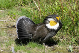 Sooty grouse Image 5