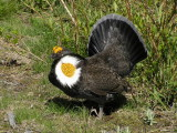 Sooty grouse (displaying male)