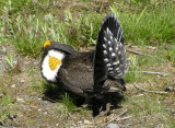 Sooty grouse Image 6