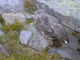 White tailed ptarmigan (immature)