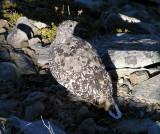 White tailed ptarmigan (adult female)