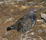 Spruce grouse (adult male)