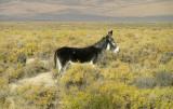 Wild Burro in remote Nevada area