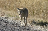 Coyote near Page Springs Campground