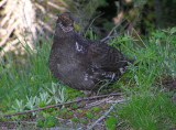 Sooty Grouse Image 3