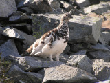 White tailed ptarmigan (male)