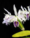 20115613  -   Cattleya maxima semiabla striata Manolo  AM AOS  80 points  9-10-2011.jpg