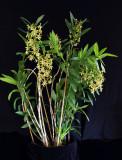 20115614  -  Epidendum cristatum  Orkiddoc  CCM AOS 80 points  9-14-2011.jpg