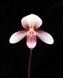 20113332   -   Paphiopedilum Tautzianum Rose Dahn   HCC-AOS (78 points)  9-17-2011.jpg