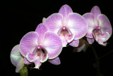 20113330  - Phal. Yu Pin Easter Island Iowa  HCC AOS 79 points 7 31 2011.jpg
