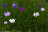 4323958169_350cbaaa77 The Megido anemone_ windflower garden_ Israel Valley of Jezreel_M.jpg