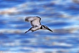4561835005_60393848ff Speed bird Pied Kingfisher_M.jpg