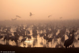 5295276881_4a92ea0d3d Dawn with The common Crane_ Agamon HaHula_ Israel_L.jpg