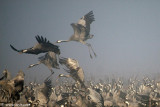 5295872014_d39a716406 Dawn with The common Crane_ Agamon HaHula_ Israel_L.jpg